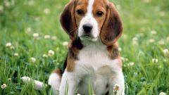 Как научить собаку проситься гулять