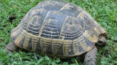 Как определить возраст и пол черепахи
