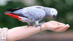 Как научить говорить попугая жако