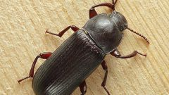 How to get rid of beetles in house