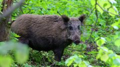 Where to shoot a wild boar