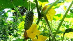 Как выращивать огурцы