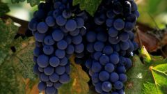 How to choose grapes