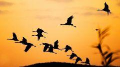 Куда улетают гуси, утки, журавли