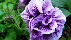 When to plant Petunia