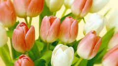 Как вырастить тюльпаны из луковицы