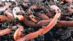 Как вырастить червей
