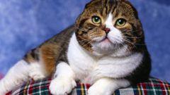 Как вязать шотландских кошек