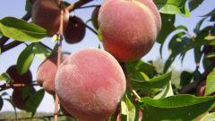 How to grow peach
