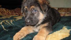 Как определить щенка немецкой овчарки