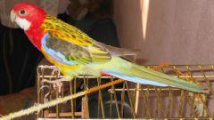 Как измерить рост попугая