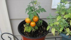 How to grow tomatoes in the winter