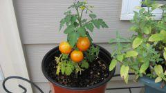 Как вырастить помидоры зимой