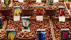 Как высадить луковицу тюльпана