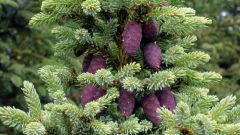How to plant the seeds of spruce