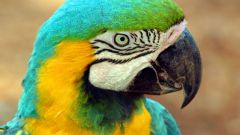 Как не заразиться от попугая