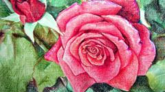 How to draw a rose with pencil in stages