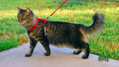 How to put a harness on a cat