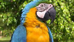 Как быстрее научить говорить попугая