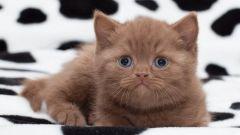 Как назвать британского котенка -девочку