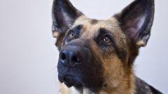 Как выбрать собаку для охраны дома