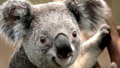 Как нарисовать коалу