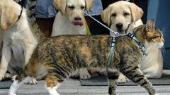 Как надевать поводок  на кота
