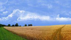 Как нарисовать пшеницу