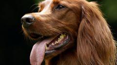 Как помочь выпасть молочным зубам у собаки