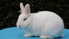 Как можно вызвать развитие пигментированной шерсти у горностаевого кролика