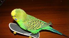 Как гладить попугая