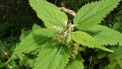 Как использовать листья молодой крапивы