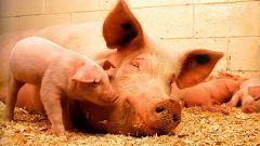Как определить беременность свиньи