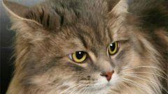 Как остановить лактацию у кошки