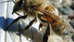 Why bee stings