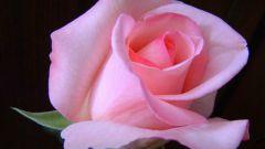 Как нарисовать розу гуашью