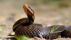 Что делать при змеином укусе
