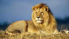 Рисунок льва: как рисовать карандашом
