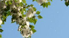Как избежать аллергии на тополь