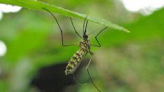 Почему кусаются комары