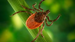How dangerous a tick bite