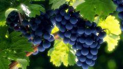 Как выбрать сорт винограда для выращивания