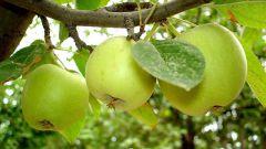 Как ухаживать за яблонями