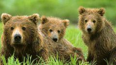 Почему в Сибири медведи перебрались ближе к городам