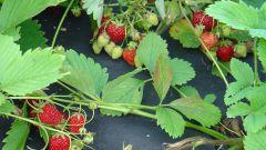 Как размножить садовую землянику