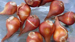 Как хранить луковицы растений