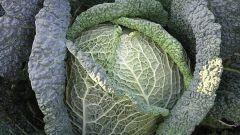 Как вырастить савойскую капусту