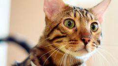 Как подготовить кошку к выставке
