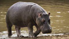 Как из бассейна вытащить бегемота