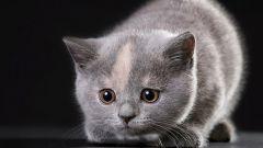 Как выбрать котенка-британца